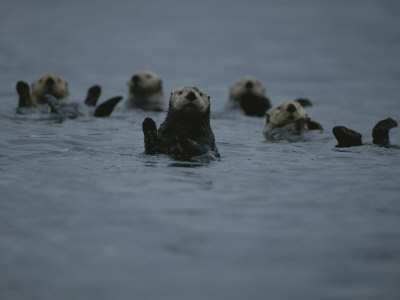 A Group of Sea Otters, Enhydra Lutris, Rest on the Surface of the Sea Photographic Print by Karen Kasmauski