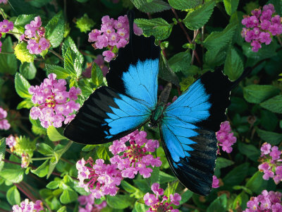 A Ulysses Butterfly, Native to Australia, Lands on Some Pink Flowers Photographic Print