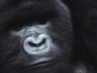 A Silverback Mountain Gorilla Photographic Print by Michael Nichols