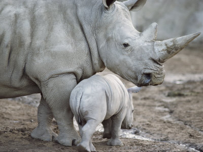 A Large White Rhinoceros and its Young Fotoprint av Kenneth Garrett