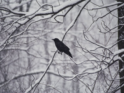 A Black Crow Contrasts with Falling White Snow Blanketing the Surrounding Woods Photographic Print by Stephen St. John