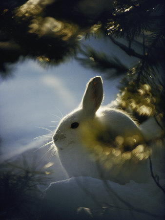 Backlit Portrait of a Little Snowshoe Hare in Winter Camouflage Photographic Print