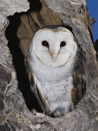 A Barn Owl in its Roost in a Hollow Tree Photographic Print