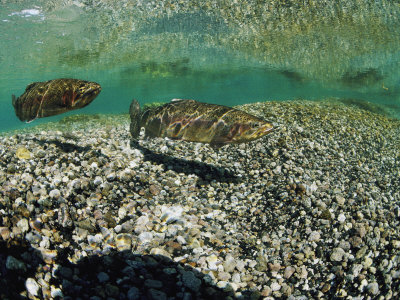 Two Rainbow Trout Swim in a Shallow Stream Above Sunlit Gravel Photographic Print by Michael S. Quinton
