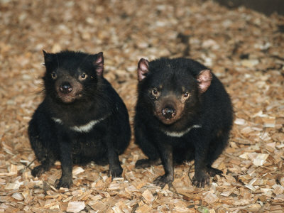 Tasmanian Devils, Tasmania, Australia Photographic Print by Joe Stancampiano