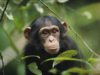 A Young Chimpanzee Peeks Through the Leaves of the Tai Forest Fotografisk tryk af Michael Nichols