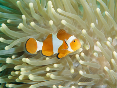 Clown Anemonefish in Sea Anemone, Pacific Ocean Photographic Print by Joe Stancampiano