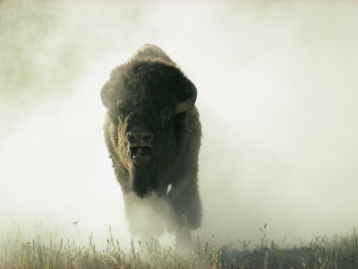 Bison Kicking up Dust Photographic Print by Lowell Georgia