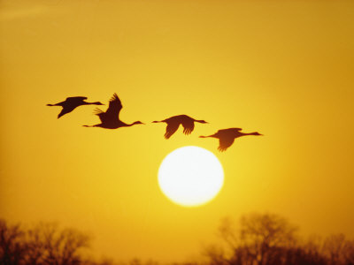 Silhouetted Sandhill Cranes against a Setting Sun Photographic Print by Lowell Georgia