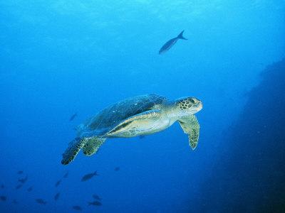 Green Sea Turtle, off Sipadan Island, East Malaysia Photographic Print by Joe Stancampiano