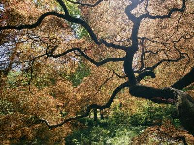 murawski-darlyne-a-les-branches-noueuses-d-un-erable-japonais-au-printemps.jpg