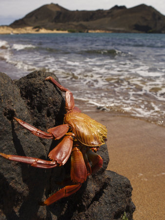 A Sally Lightfoot Crab Perched on a Seaside Rock Photographic Print
