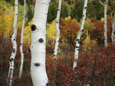 The White Bark of Autumn Colored Aspen Trees Fotografisk tryk