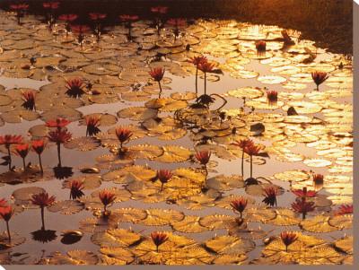 Lotus Pond Stretched Canvas Print by Bruno Baumann