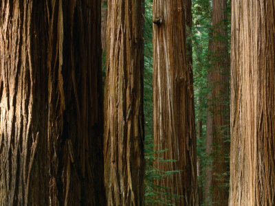 Coast Redwood Trees, Humboldt Redwoods State Park, USA Photographic Print by Nicholas Pavloff