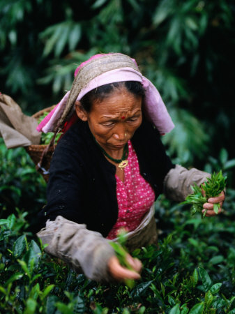 Tea Worker Plucks Tips from Darjeeling Tea Bush at Duncan's Marybong Tea Garden, Darjeeling, India Photographic Print by Greg Elms