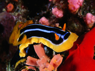 Pyjama Nudibranch or Sea Slug in the Red Sea, Ras Mohammed National Park, Egypt Photographic Print by Mark Webster