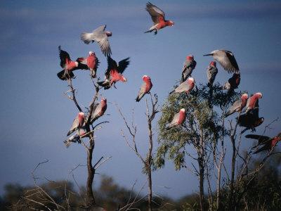 Galahs (Cacatua Roseicapilla), Currawinya National Park, Queensland, Australia Photographic Print by Mitch Reardon