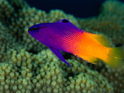 Fairy Basslet (Gramma Loreto), South of Prince Rupert Bay, Portsmouth, Portsmouth, Dominica Photographic Print by Michael Lawrence