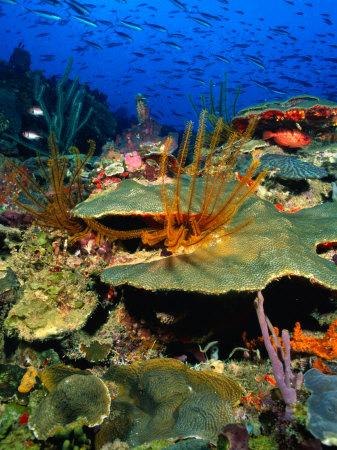 Coral Plates, La Sorciere, Soufriere Bay, Soufriere, Dominica Photographic Print by Michael Lawrence