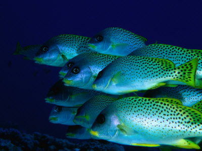 A School of Blackspotted Sweetlips (Pfectorhinchus Geterinus), Red Sea, Egypt Photographic Print by Casey Mahaney