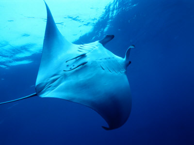 Underside of Manta Ray Between Batteaux Bay and Little Tobago Island, Trinidad & Tobago Photographic Print by Michael Lawrence