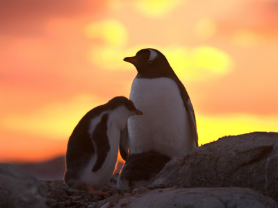 Gentoo Penguin and Chick, Antarctica Photographic Print by Hugh Rose