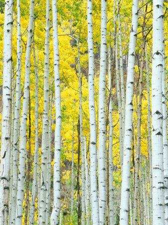 Aspen Grove, White River National Forest, Colorado, USA Lámina fotográfica por Rob Tilley