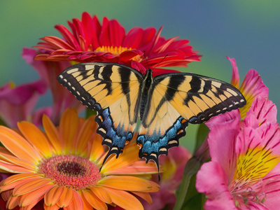 Eastern Tiger Swallowtail Female on Gerber Daisies, Sammamish, Washington, USA Fotografie-Druck