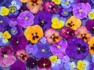 Pansy Flowers Floating in Bird Bath with Dew Drops, Sammamish, Washington, USA Photographie