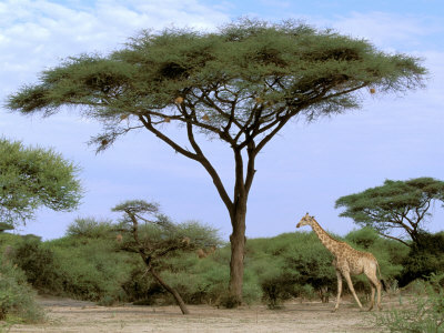 Southern Giraffe and Acacia Tree, Okavango Delta, Botswana Photographic Print by Pete Oxford