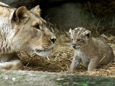A Lion Cub Peeks into the World While Sitting Next to Its Mother Inka at the Munich Zoo Stampa fotografica