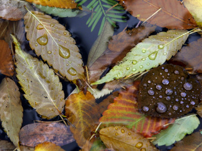 Autumn Leaves Float in a Pond at the Japanese Garden of Portland, Oregon, Tuesday, October 24, 2006 Photographic Print by Rick Bowmer