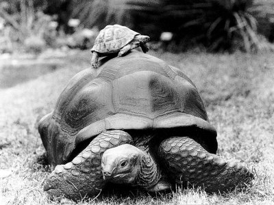 Tank the Giant Tortoise, London Zoo, 180 Kilos, 80 Years Old, on Top is Tiki a Small Tortoise Photographic Print
