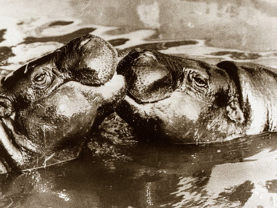 kissing images. Hippos Kissing, 1965
