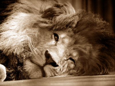 Lion Sleeping at Whipsnade Zoo Asleep One Eye Open, March 1959 Photographie