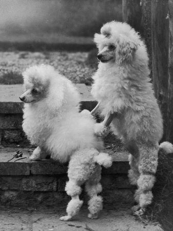 Pair of Miniature Poodles Owned by Thomas from the Fircot Kennel Photographic Print