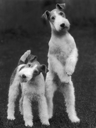 Belsize Mavis and Stella of Solent Two Wire Fox Terriers Photographic Print by Thomas Fall