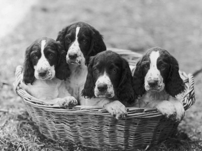 Four Large Puppies Crowded in a Basket. Owner: Browne Photographic Print by Thomas Fall