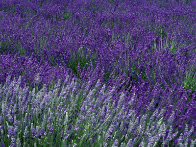 Lavender Fields in Sequim, Olympic Peninsula, Washington, USA Photographic Print