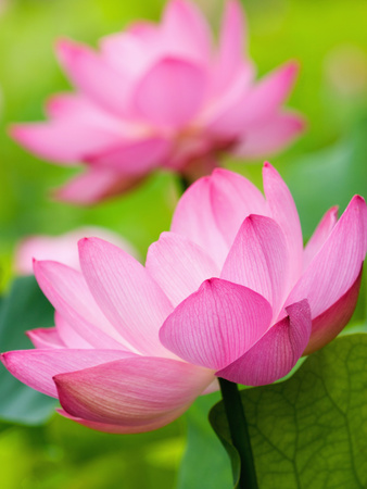 Perry's Water Garden, Lotus Blossom, Franklin, North Carolina, USA Photographic Print