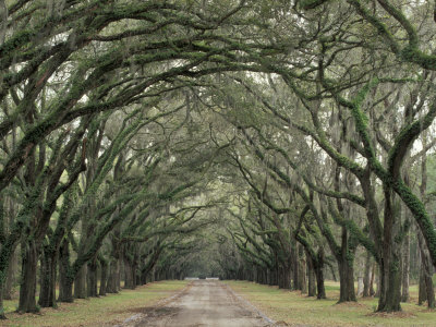 Moss-Covered Plantation Trees, Charleston, South Carolina, USA Photographic Print by Adam Jones
