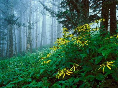 Golden-Glow Flowers, Great Smoky Mountains National Park, North Carolina, USA Fotografiskt tryck
