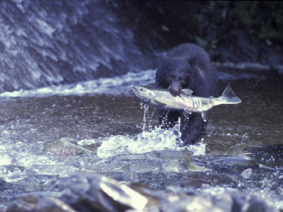 Black Bear Holds Chum Salmon, near Ketchikan, Alaska, USA Photographic Print by Howie Garber