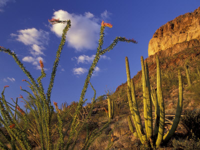 Organ Pipe Cactus with Ocotillo, Organ Pipe Cactus National Monument, Arizona, USA Photographic Print by Jamie & Judy Wild