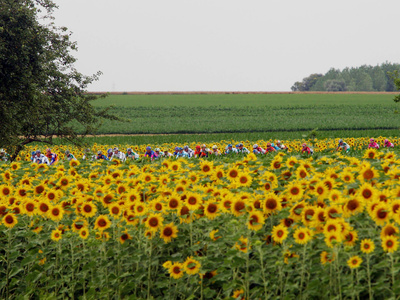 The Pack Rides Past a Sunflower Field During the Sixth Stage of the Tour De France Photographic Print