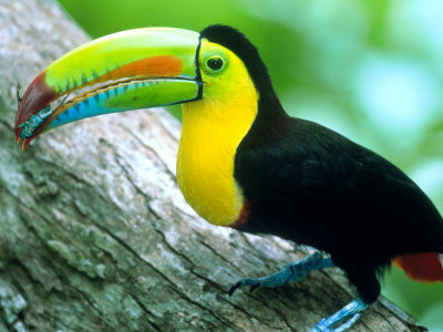 Keel Billed Toucan with a Cicada, Borro Colorado Island, Panama Photographic Print