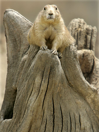 A Black-Tailed Prairie Dog Finds a Nice Perch Photographic Print