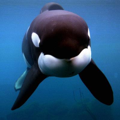 Keiko the Killer Whale Photographic Print