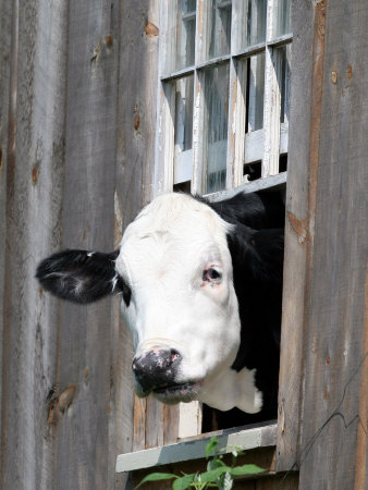 A Cow Peers out of a Barn Window in Sutton, N.H. Fotografisk tryk